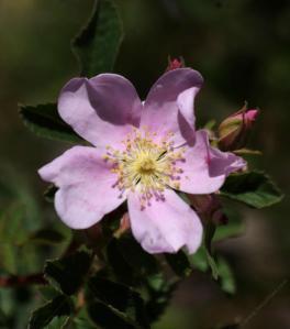 rosa-californica