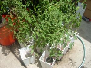 Baby Tomates