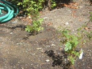 Rosa Californica Healer's Garden 06-27-14 Novato, CA